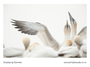 Displaying Gannets