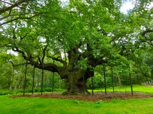 major-oak-sherwood-forest